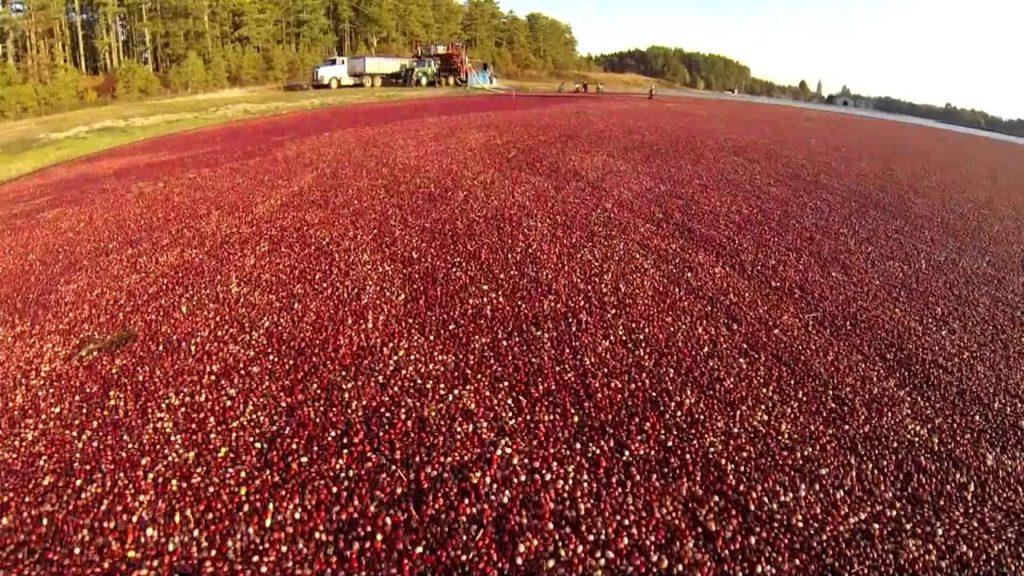 carver cranberry bog